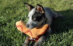 Australian Cattle Dog / 1600x1200