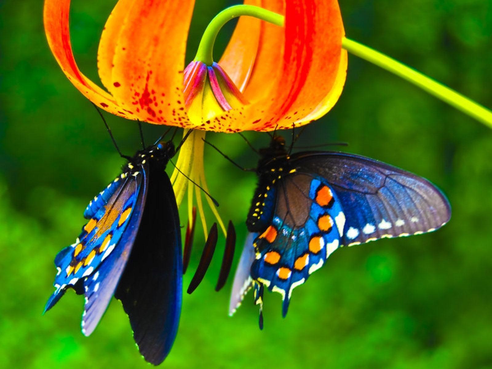Обои бабочки на тигровой лилии 1600x1200