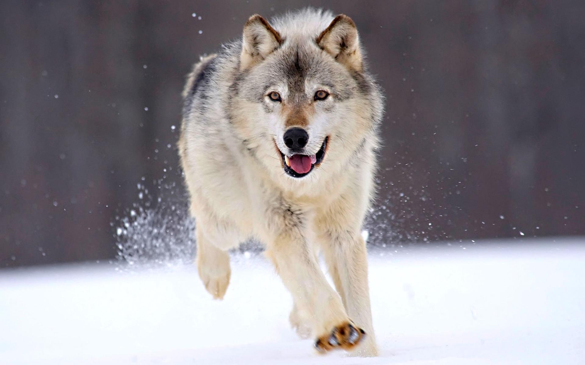 Скачать обои бегущий волк 1920x1200