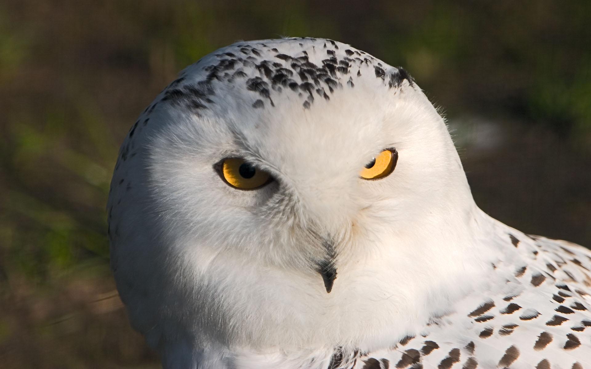Обои белая сова высокого разрешения