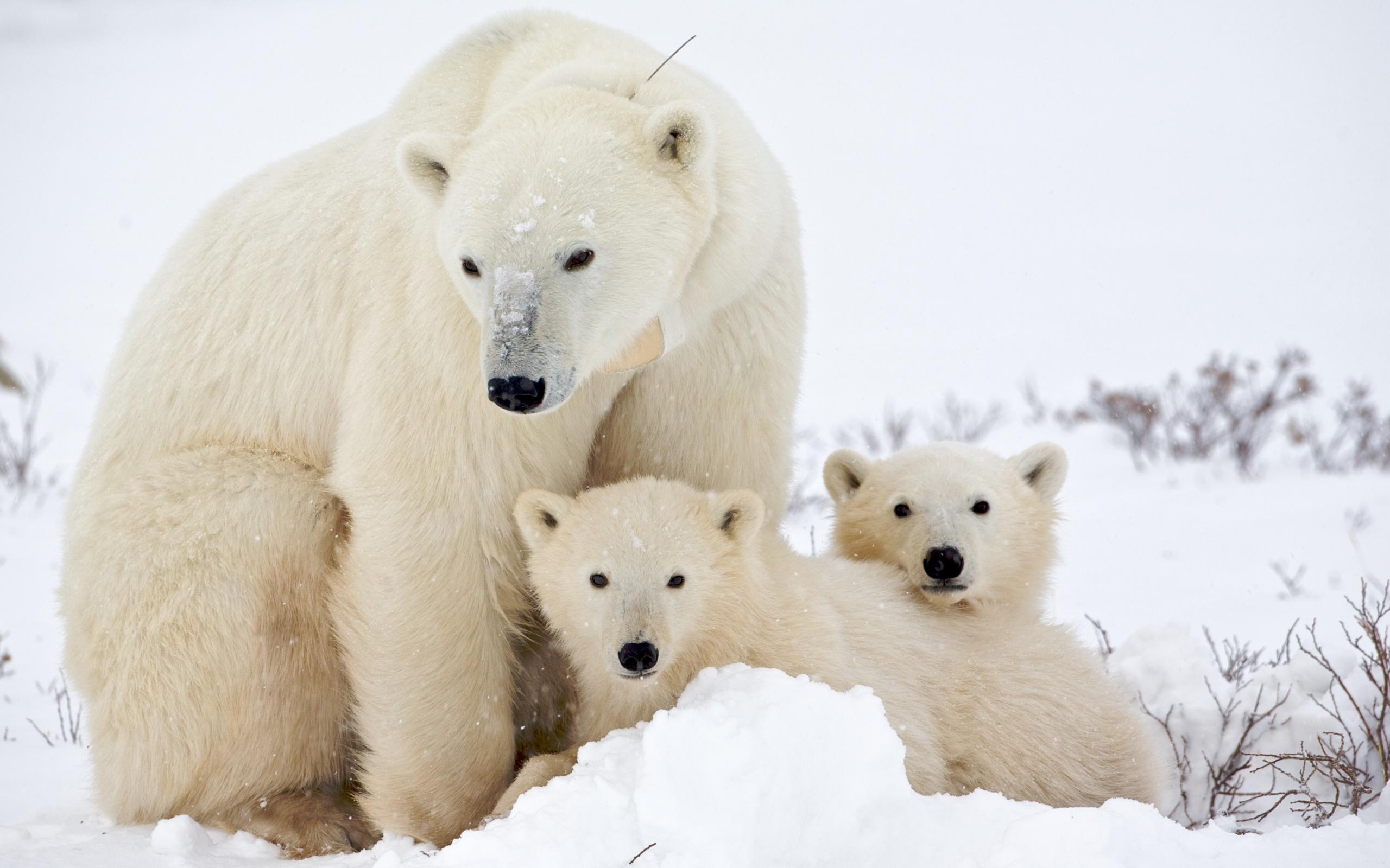 Белые Медведи Песню