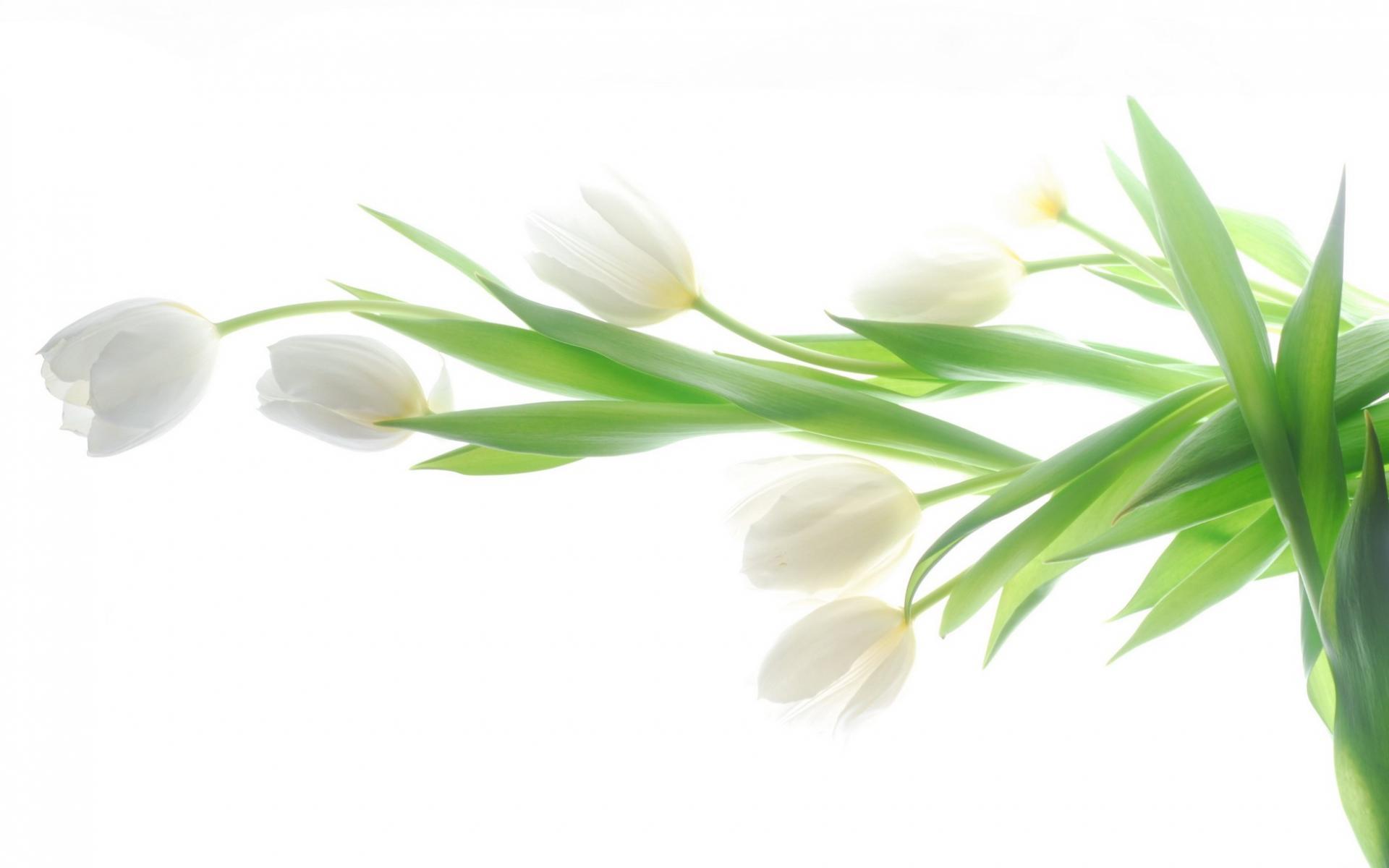 Скачать обои белые тюльпаны 1920x1200