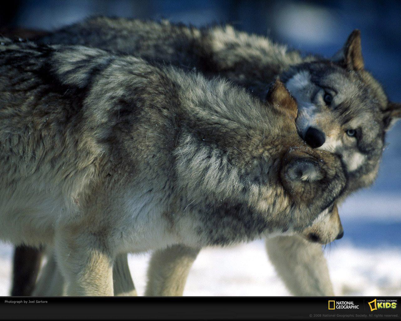 Скачать обои борющиеся волки 1280x1024