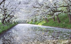 Цветущая вишня белые лепестки на воде