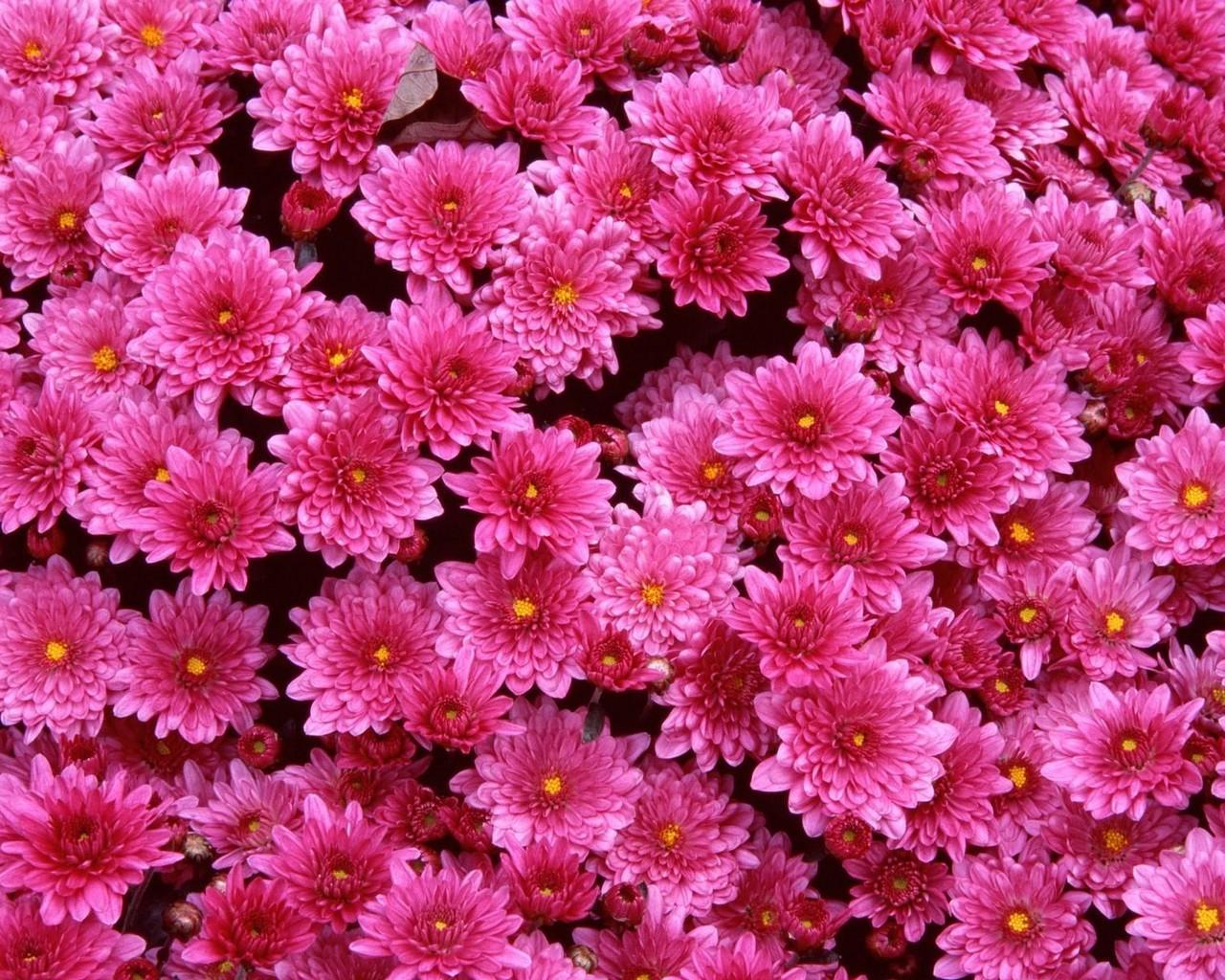 Обои цветы хризантемы розовые 1280x1024