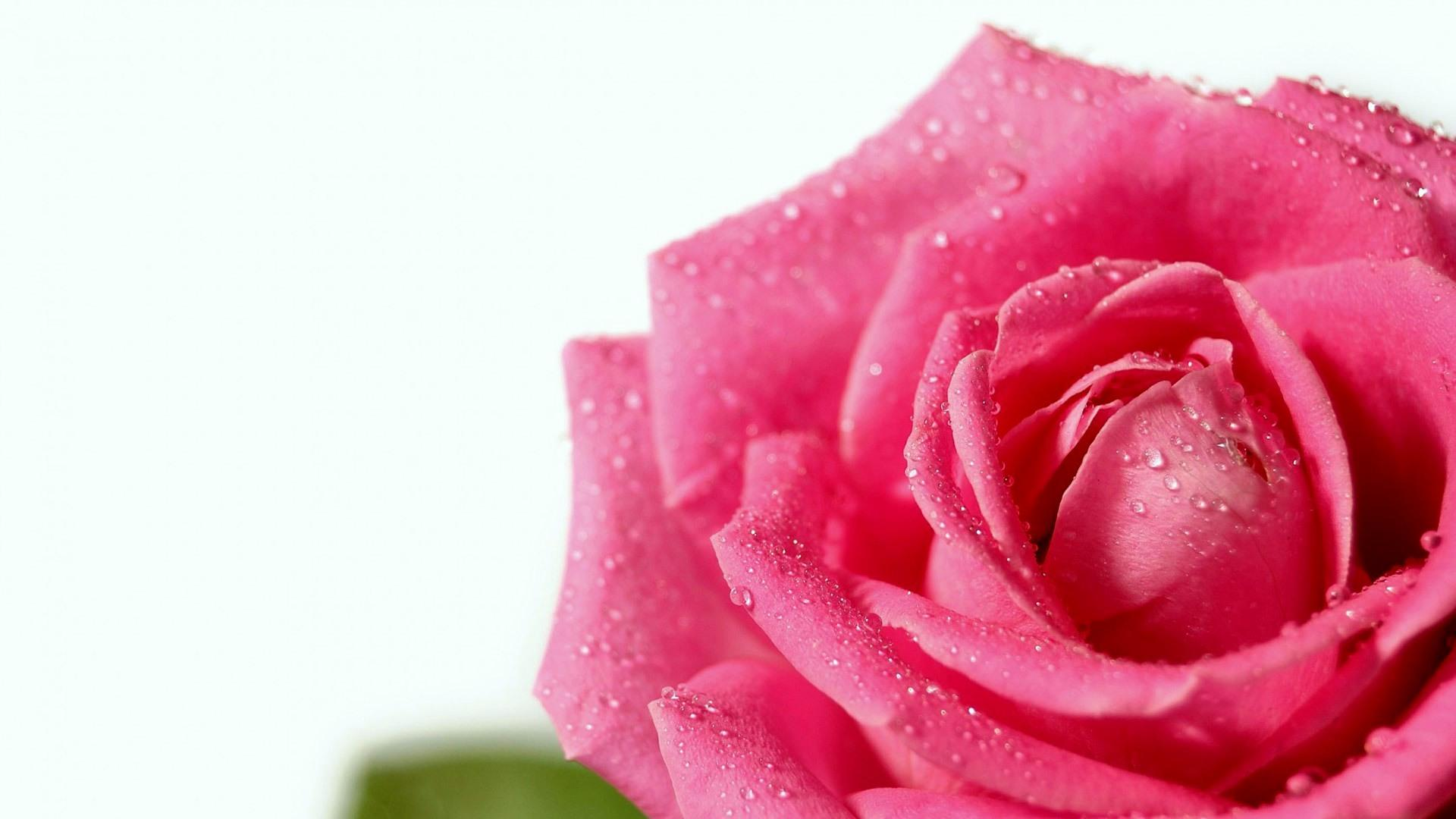Обои Dew drops on a scarlet rose 1920x1080