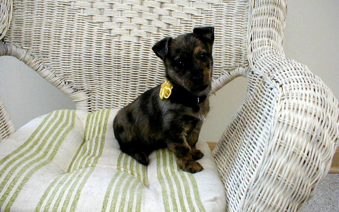 Обои Dog on chair 1440x900