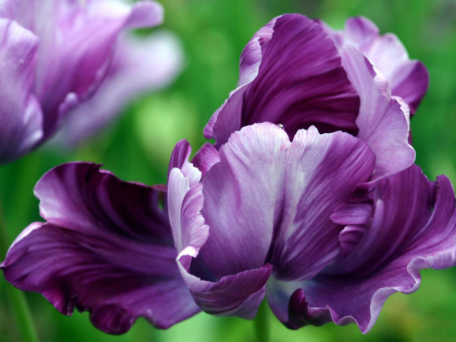 Скачать обои фиолетовый тюльпан