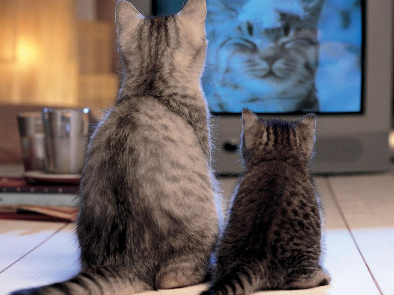 Скачать обои кошки смотрят телевизор
