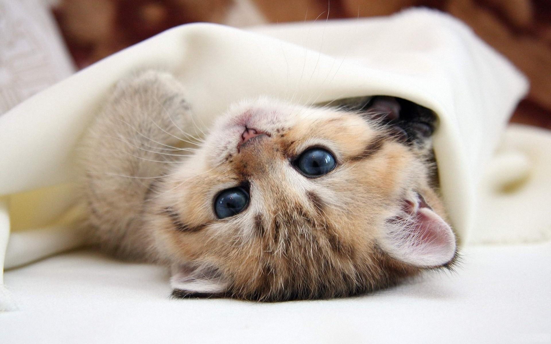 Картинки котенок пушистый