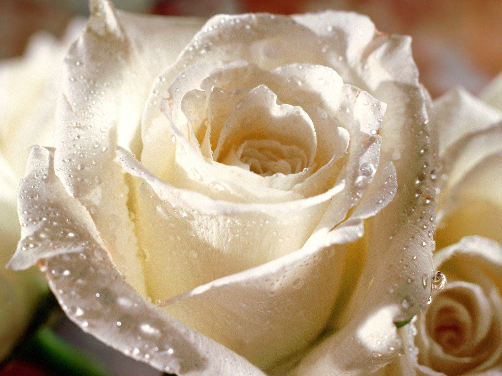 Белая красивая роза фото
