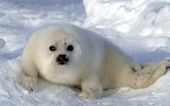 Маленький пушистый тюлененок скачать
