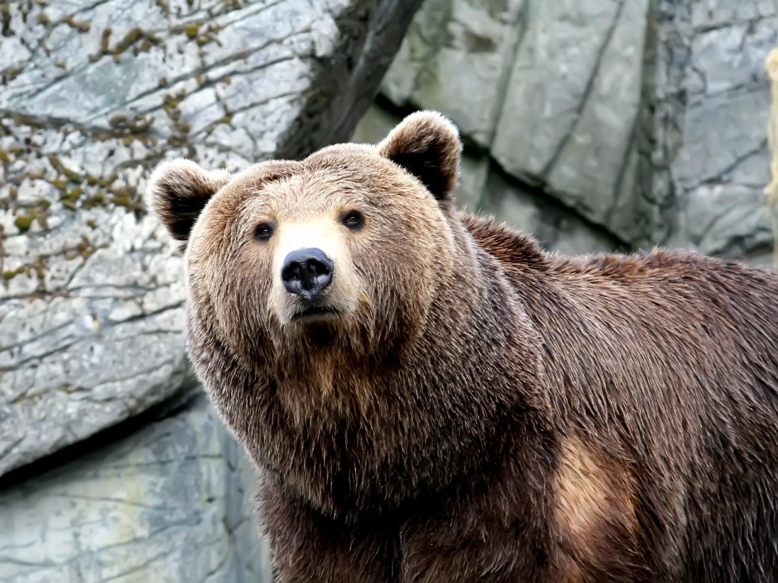 Обои медведь бурый 1600x1200