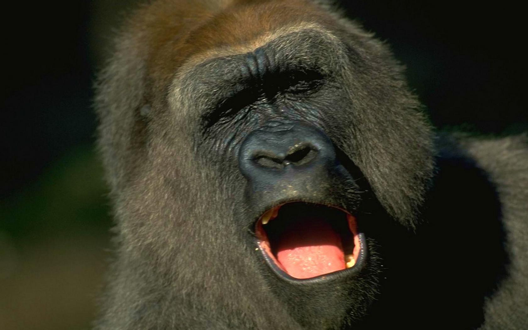 Смотреть пенис гориллы 9 фотография