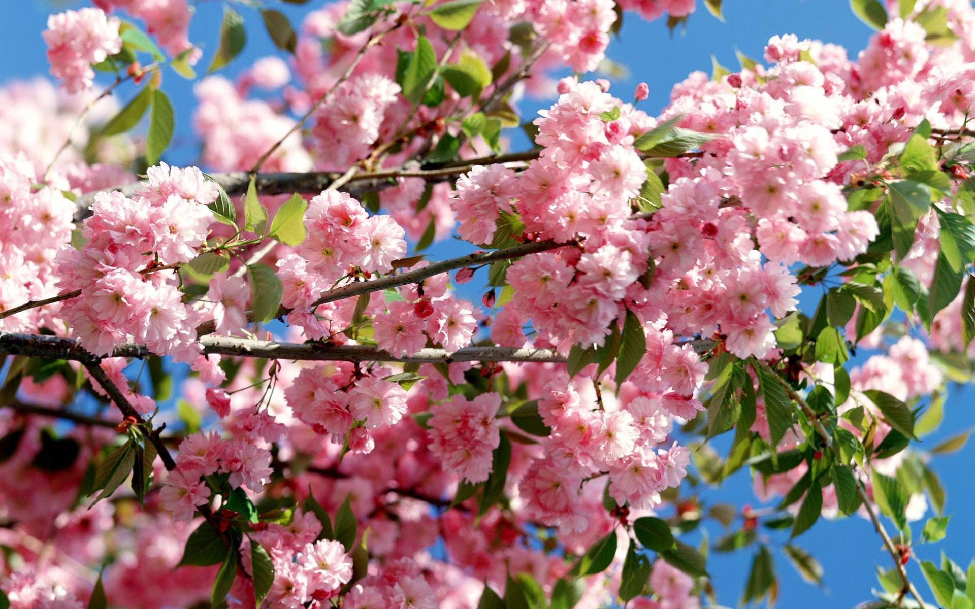 Скачать обои нежно розовые цветы 1920x1200