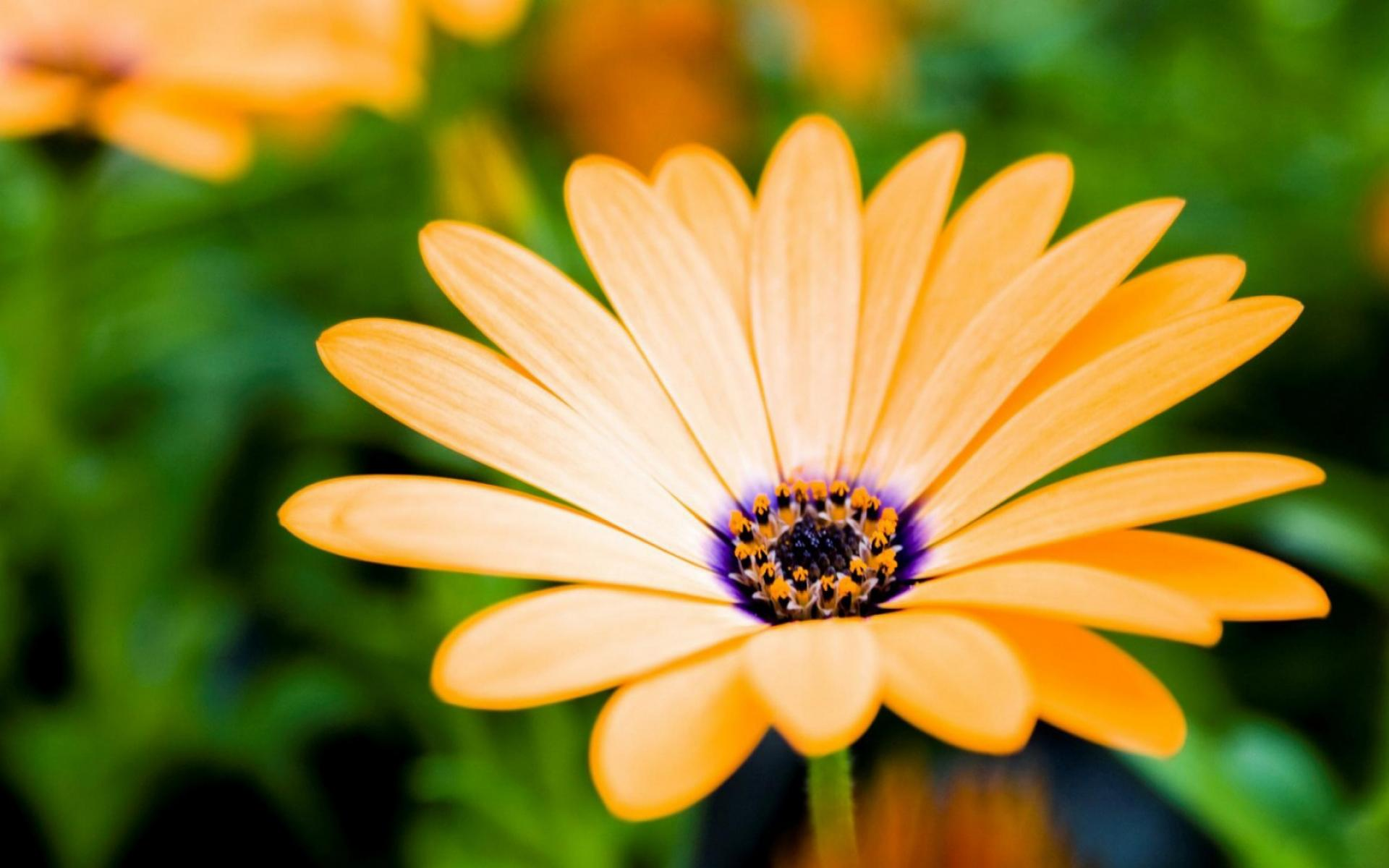 Обои Orange Daisy 1920x1200