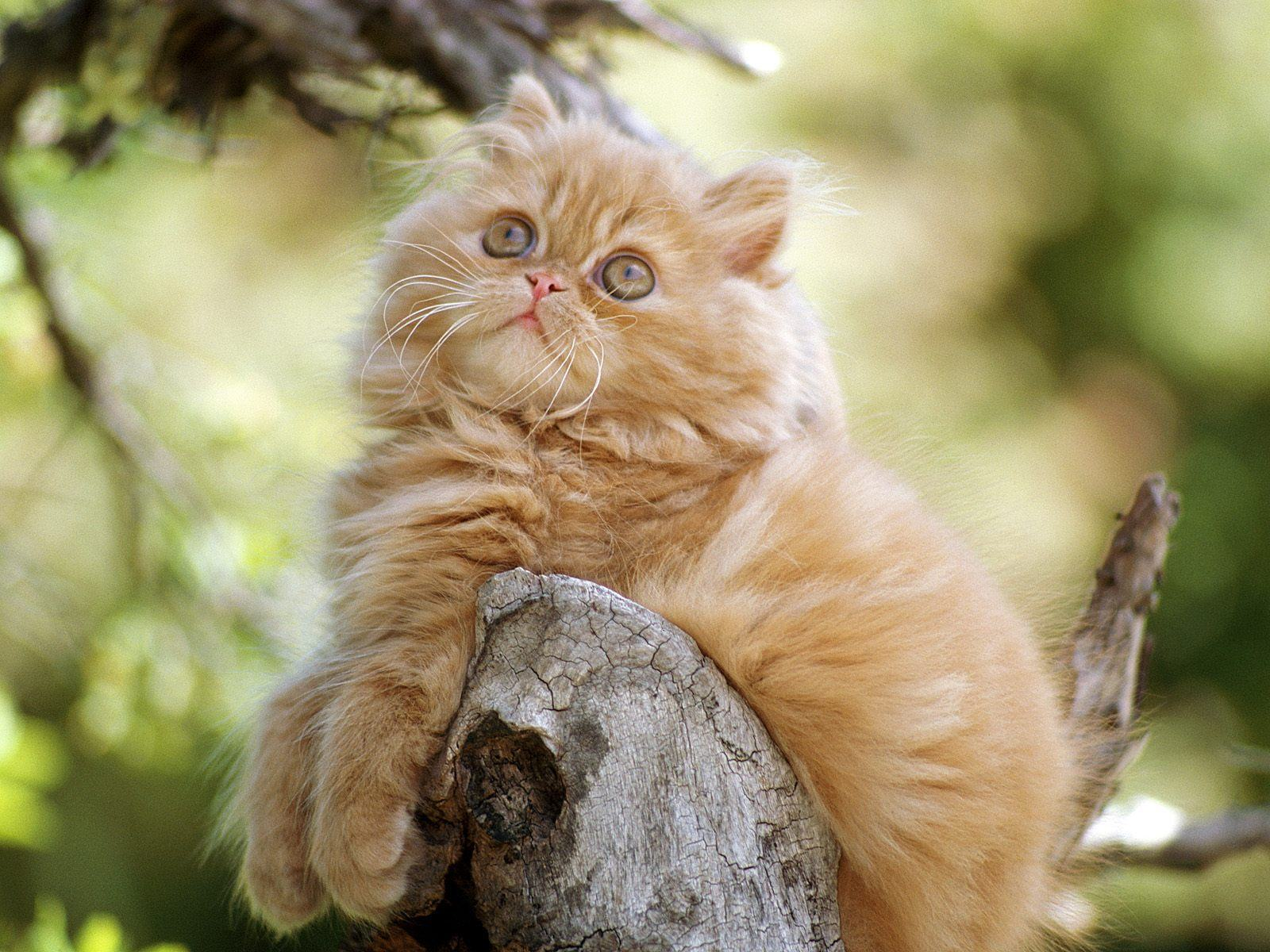 ���� Orange persian kitten 1600x1200