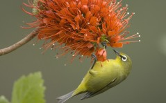 Pale White-Eye on a Flowering Bottlebrush / 1600x1200