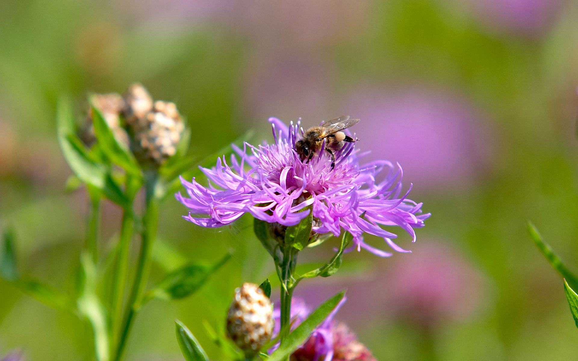 ... обои Пчела в сиреневом цветке 1920x1200: hq-oboi.ru/wall/pchela_v_sirenevom_cvetke_1920x1200