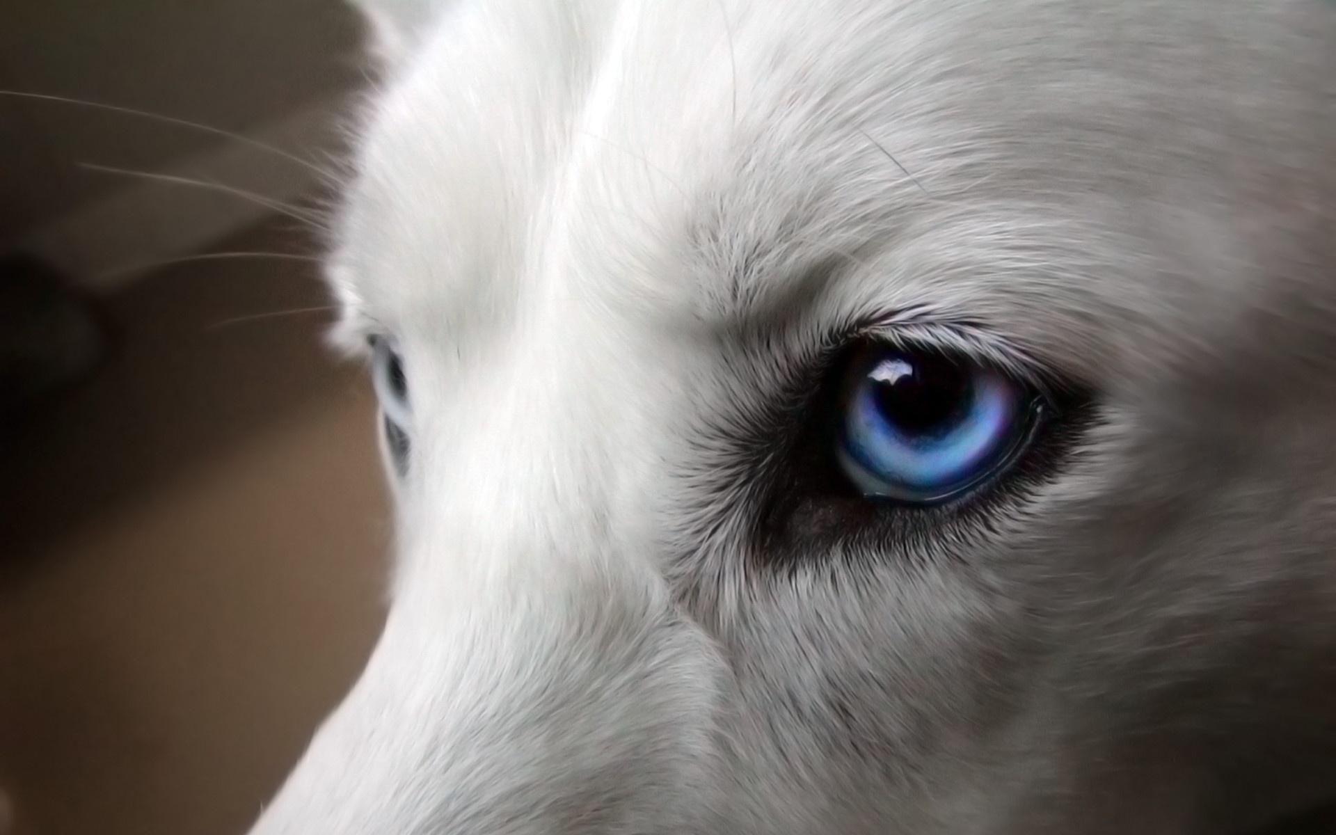 Скачать картинку глаза, голубые,собака, белая.