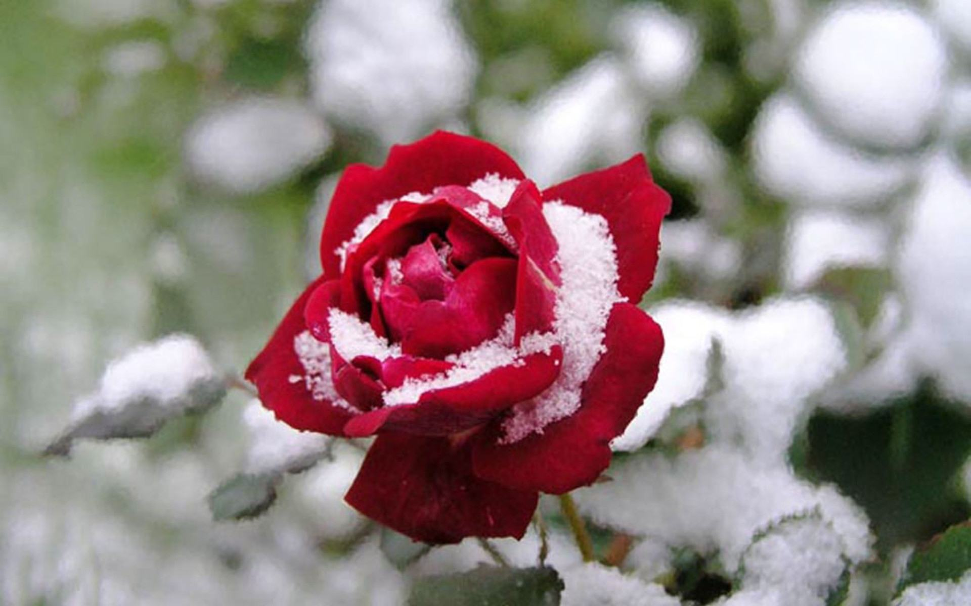 http://hq-oboi.ru/photo/roza_pod_snegom_1920x1200.jpg