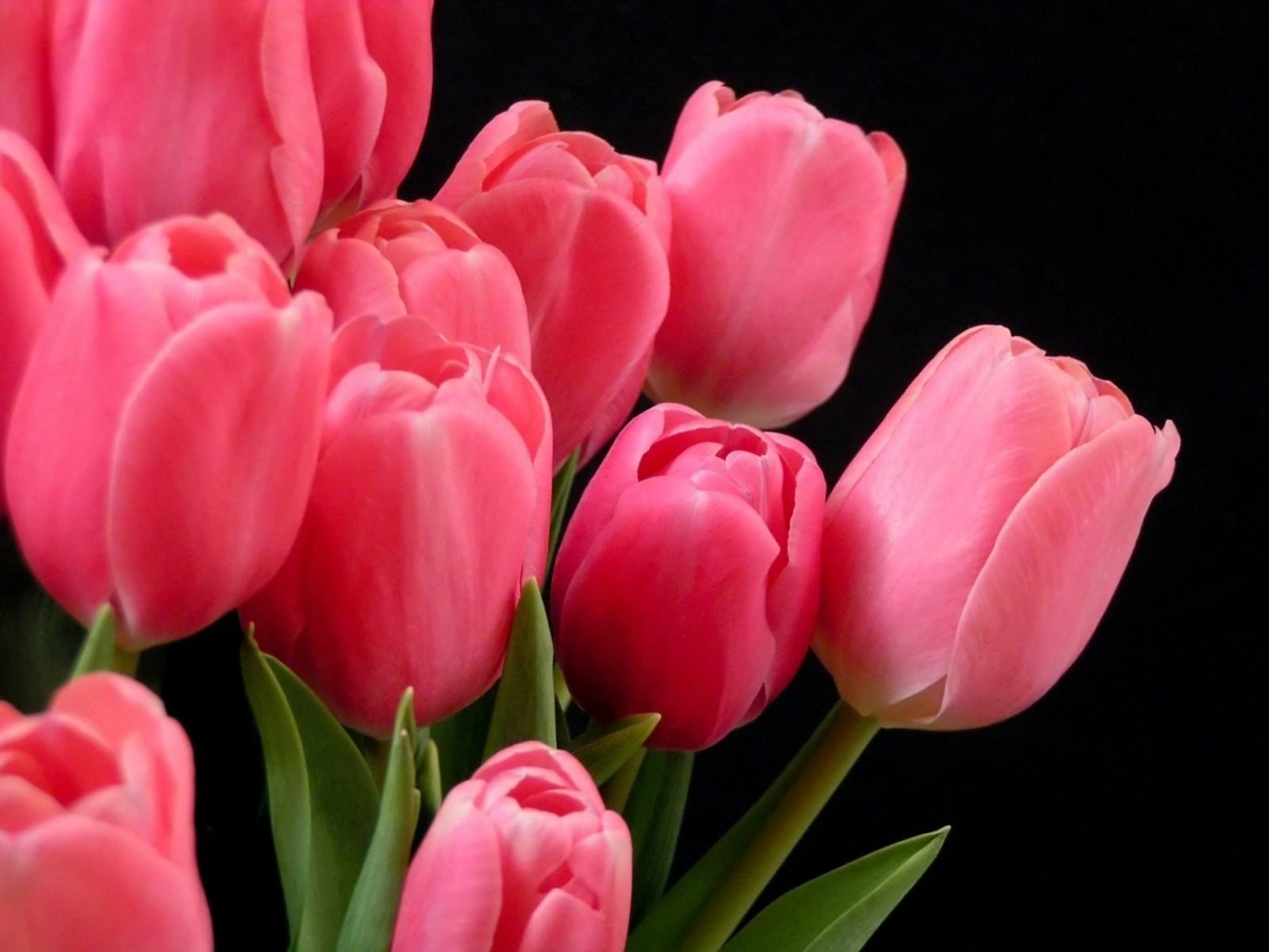 Обои розовые тюльпаны красивые на ваш