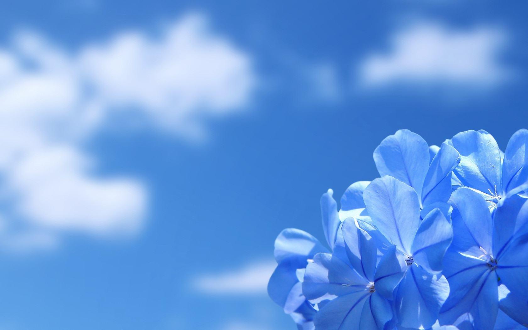 Стола цветы синие цветы на фоне синего