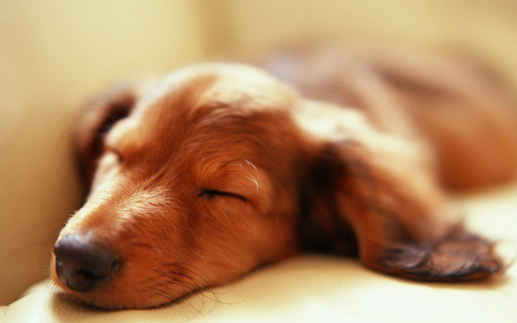 Обои Sleeping dog 1680x1050