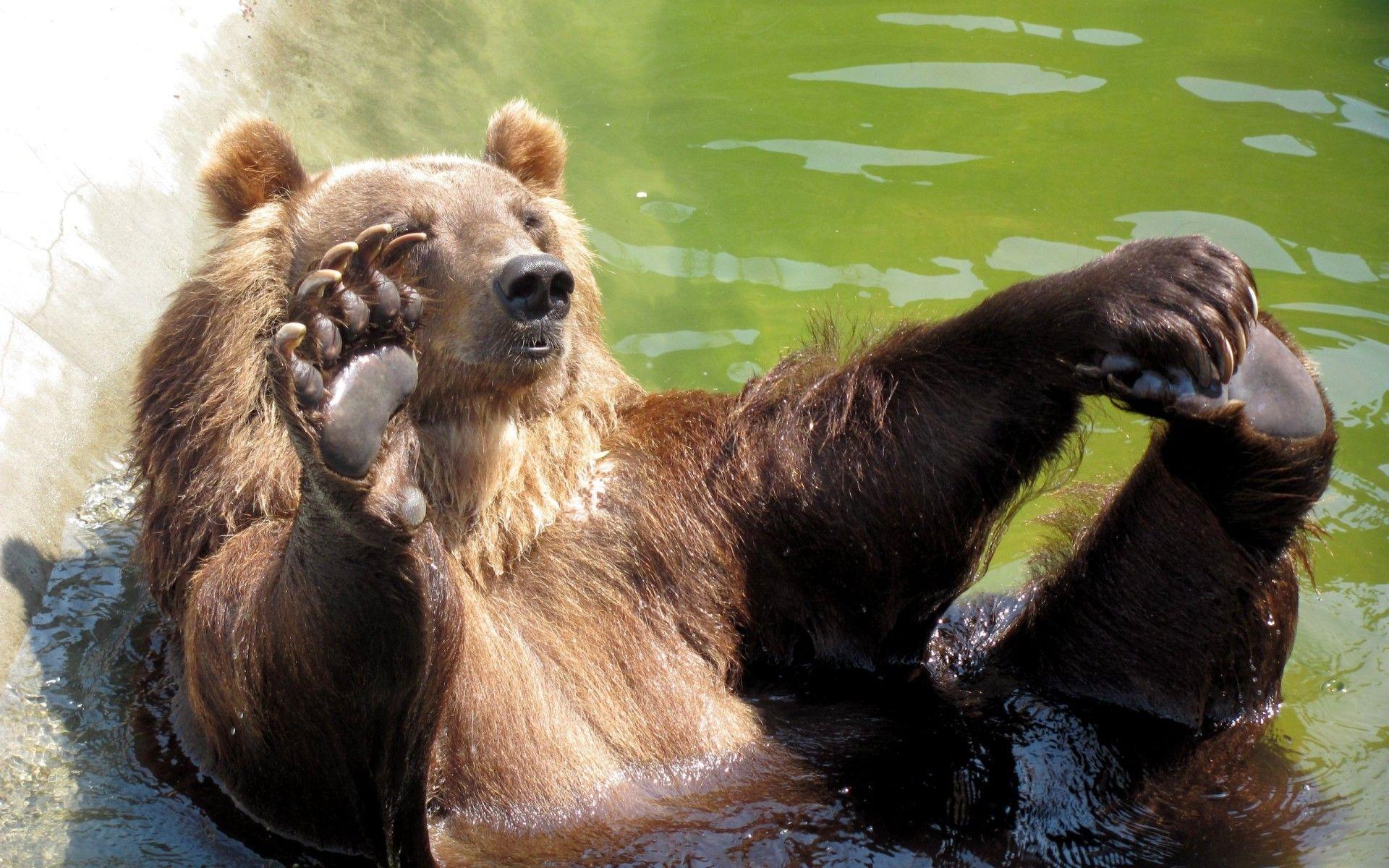 Скачать обои свирепый медведь 1920x1200