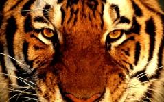 Крупным планом морда тигра обои 1440x900