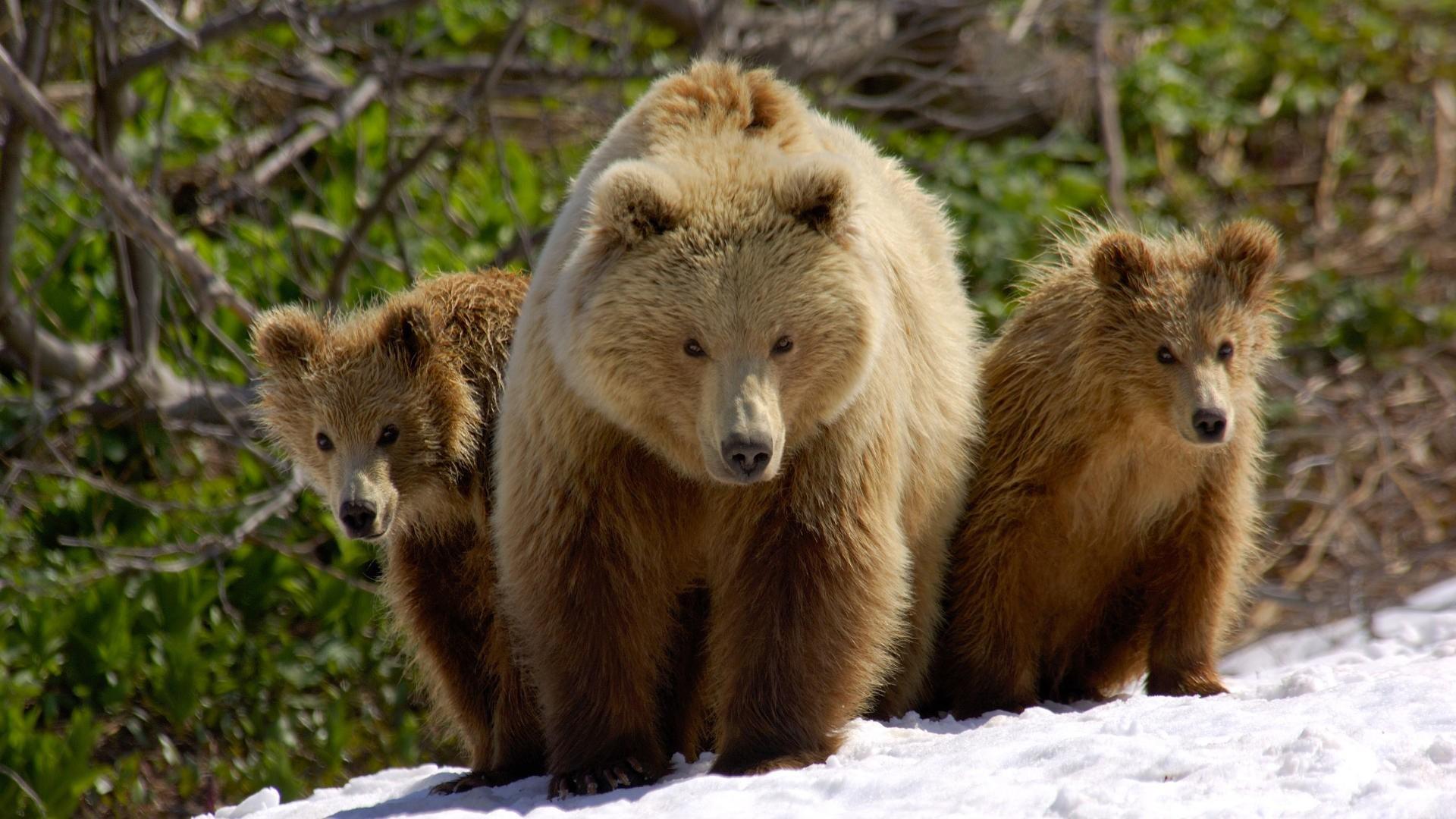 Скачать обои три медведя 1920x1080