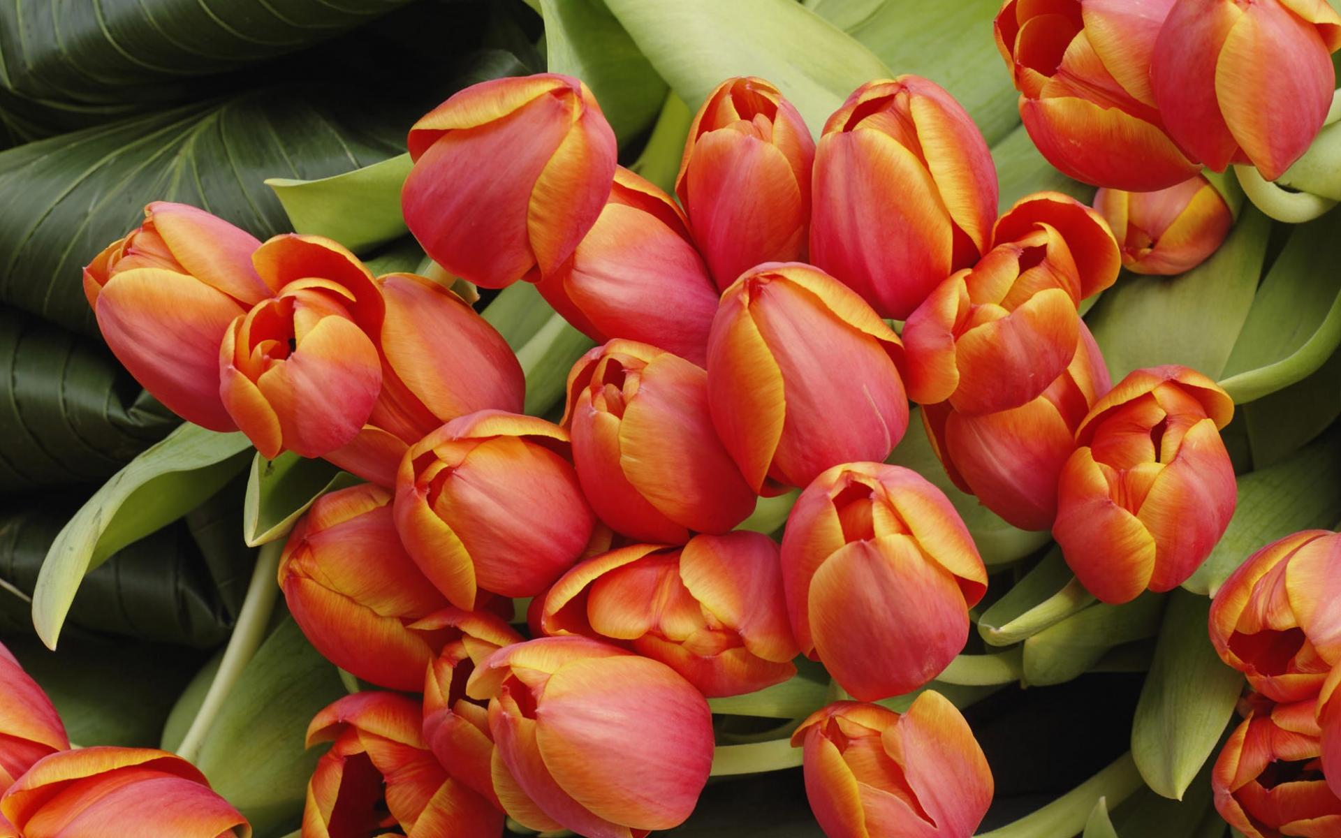 Скачать обои тюльпаны 1920x1200