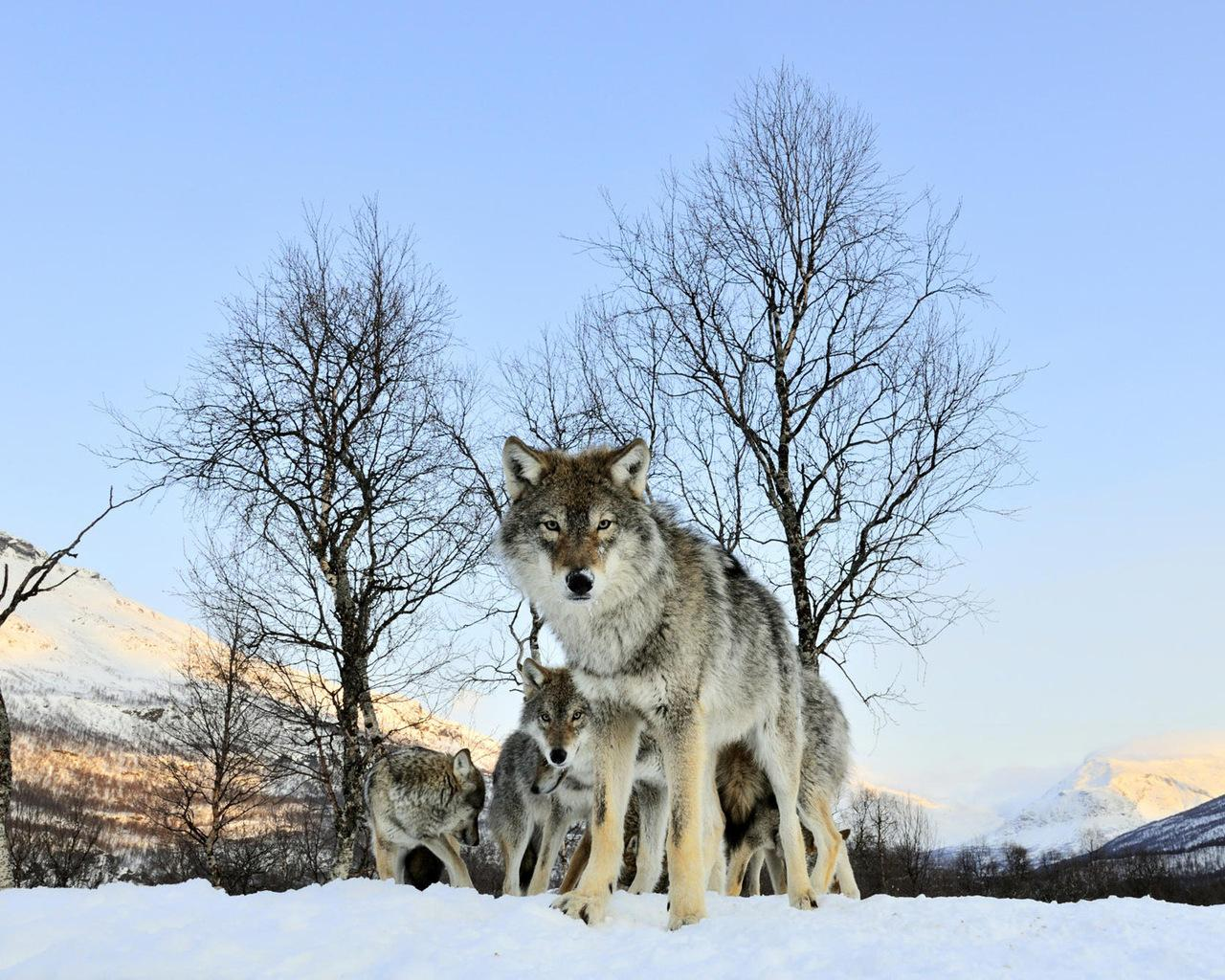 Скачать бесплатно картинки с волками на рабочий стол