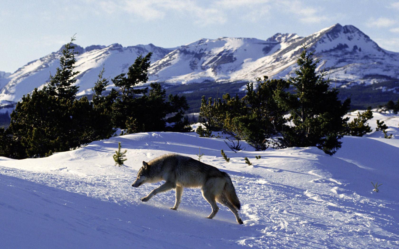 Скачать обои волк на охоте 1680x1050