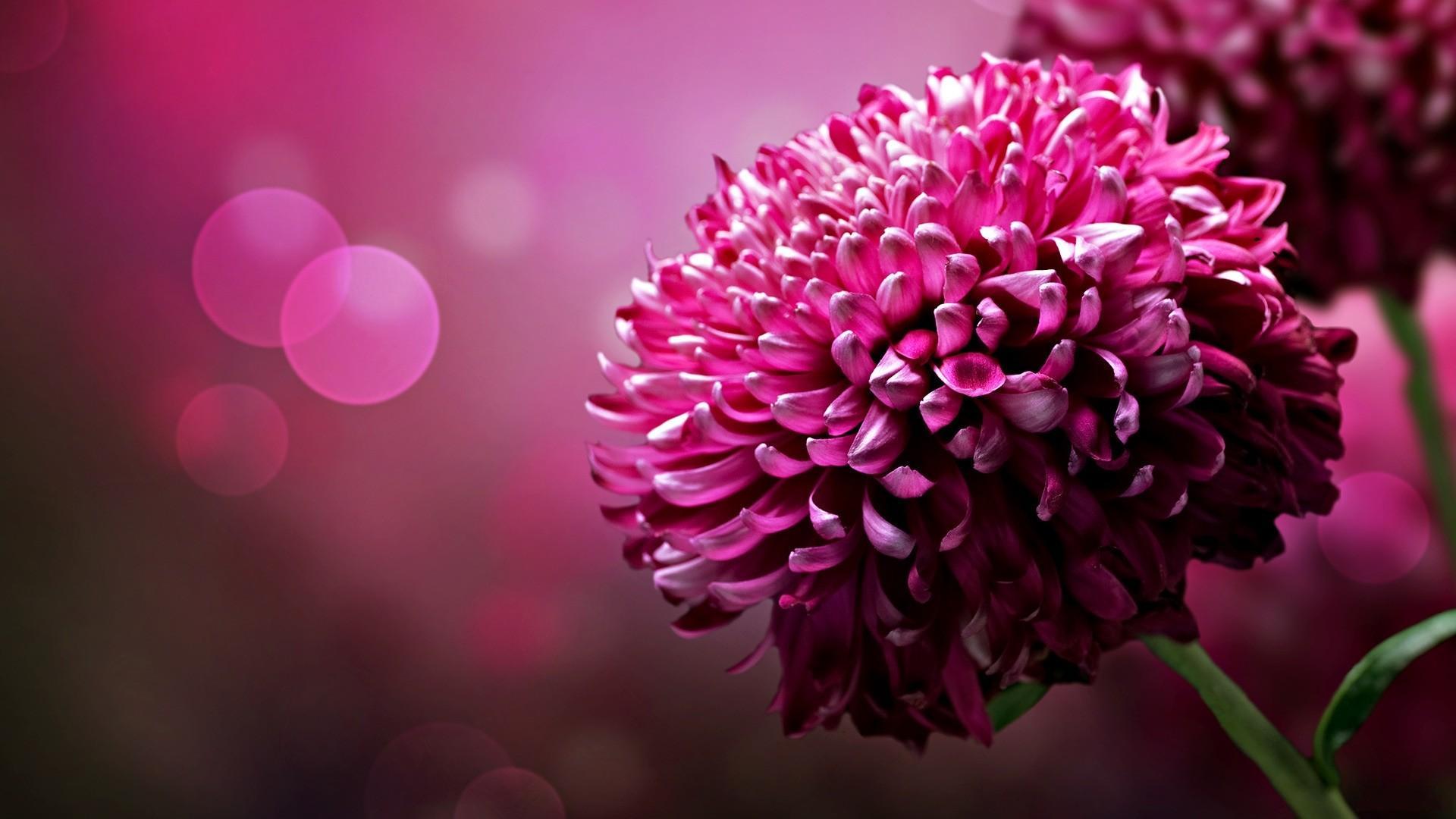 Скачать обои яркие пурпурные цветы с