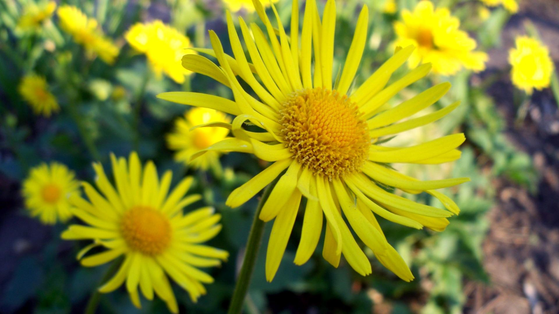 Обои Yellow camomile 1920x1080