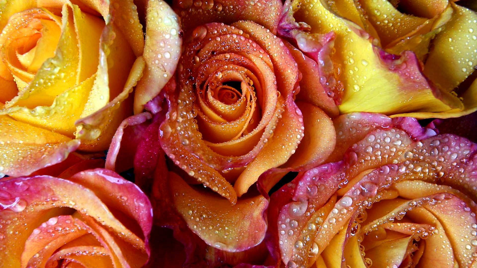 Обои Yellow-red roses 1920x1080
