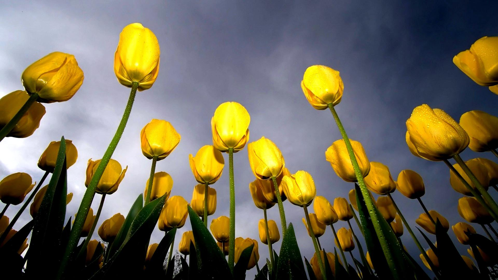 Обои Yellow tulips - separation bulletins 1920x1080