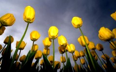 Yellow tulips - separation bulletins / 1920x1080