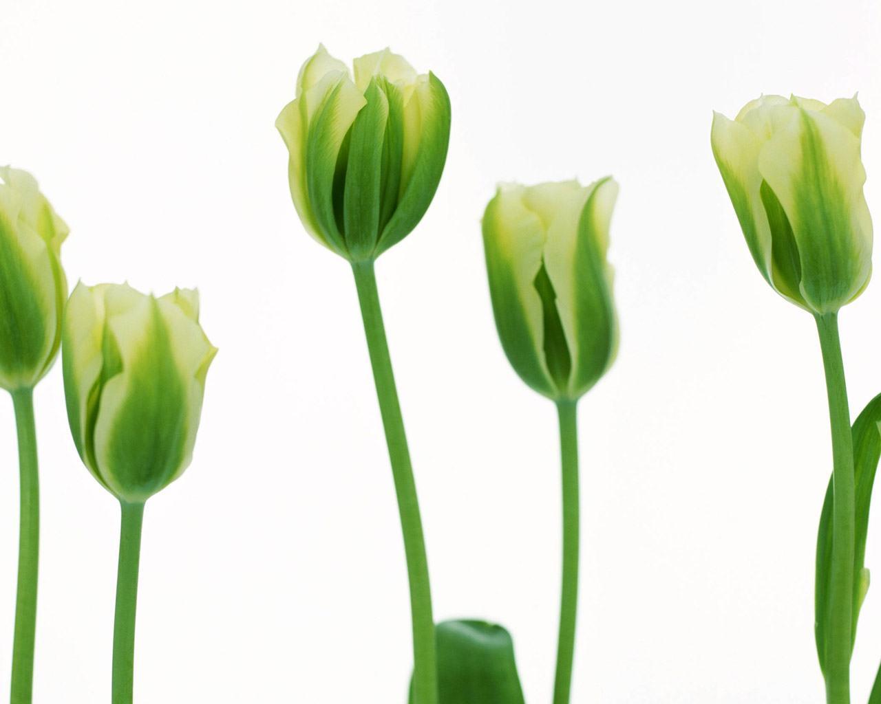 фотообои зеленые тюльпаны: