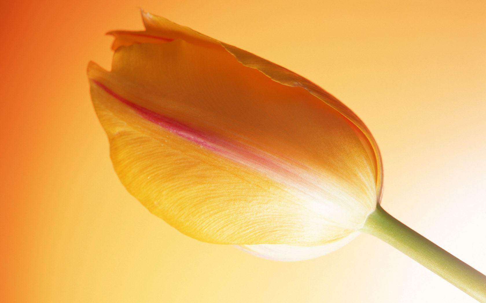 Скачать обои жёлтый тюльпан на жёлтом