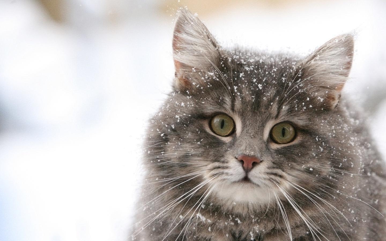 Скачать обои зимняя прогулка кошки
