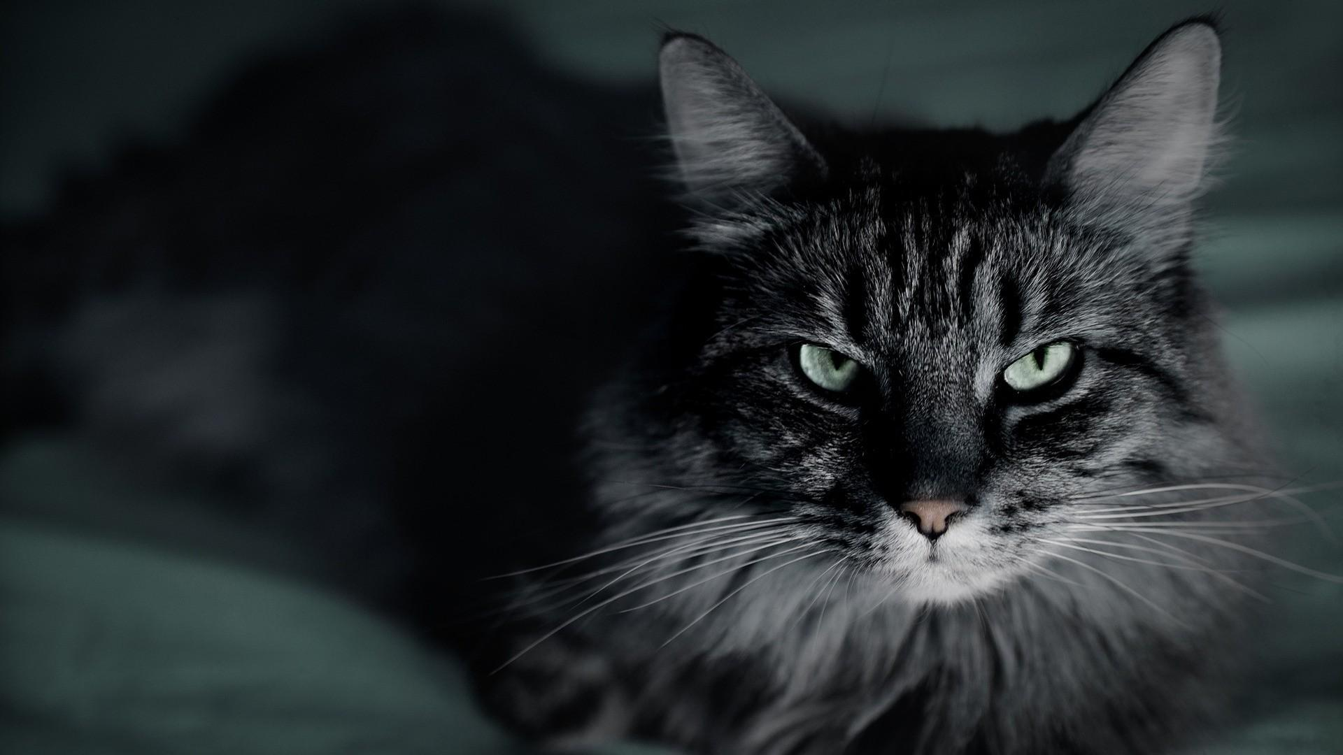 фото кот вампир