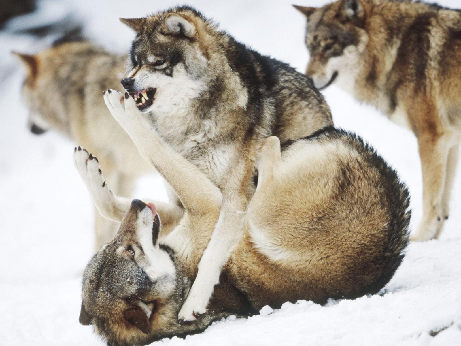 Скачать обои злые волки 1600x1200