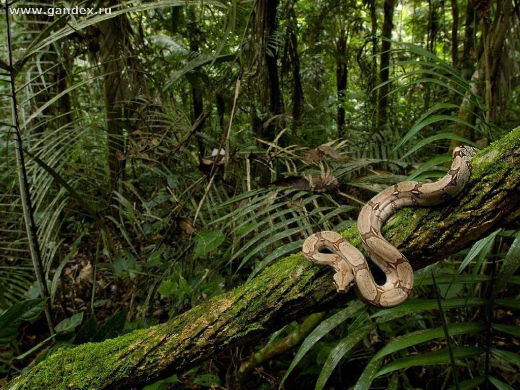 Змея, удав, джунгли, пальма - для рабочего стола обои 1024x768.